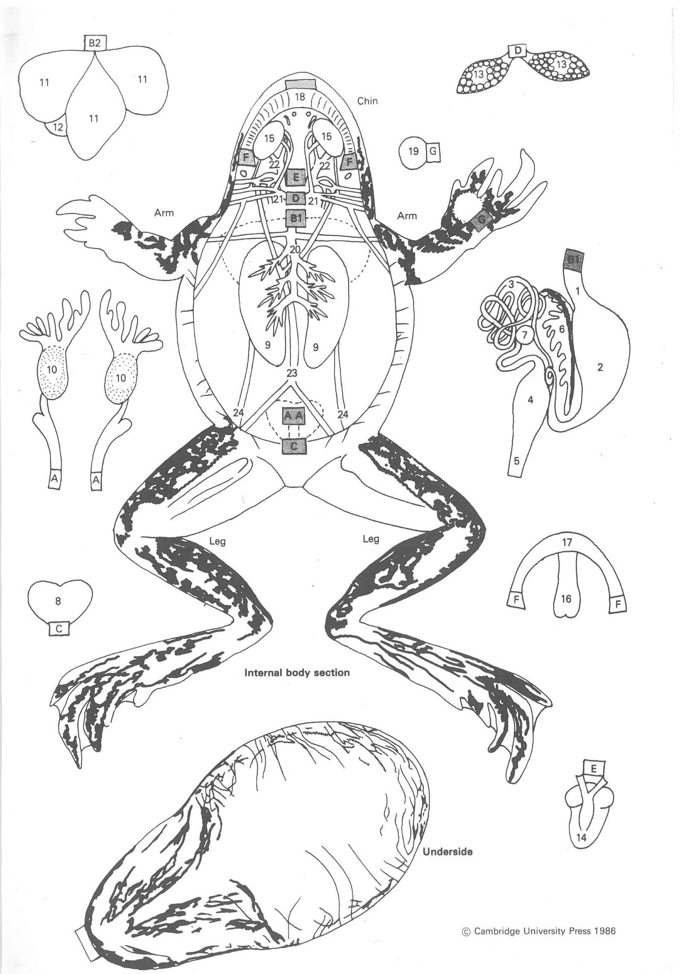 Paper Frog Dissection Diagram Organs - Auto Electrical Wiring Diagram •