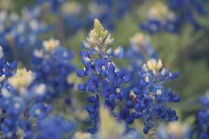 Chappell Hill Bluebonnet Festival @ Chappell Hill | Texas | United States