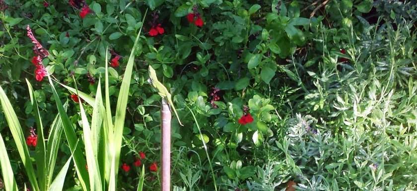 Lizard in the Garden