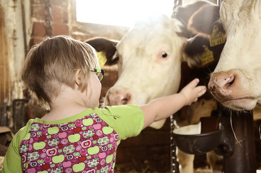 A young blonde girl with down syndrome reaches out to pet a white and brown cow's nose.