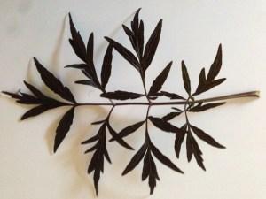 Elderberry Plant Information | A Unique Edible Plant to Grow BlackLace