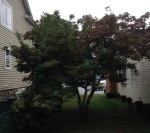 Cornus Kousa Fruit is Edible | The Kousa Dogwood - Kousa Dogwood tree