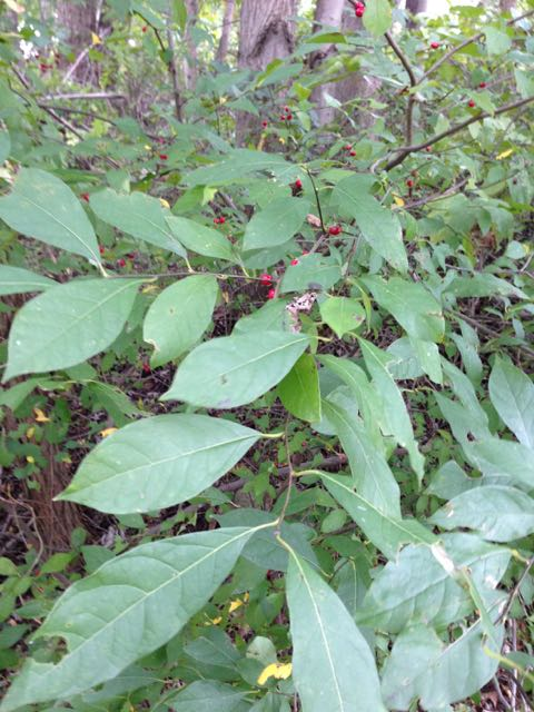 Spicebush Plant Information - Spicebush