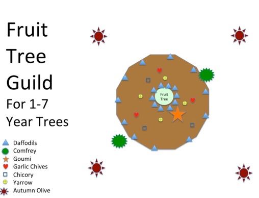 Permaculture Plant Guilds Plants helping Plants - Fruit Tree Guild for 1 to 7 Year Trees