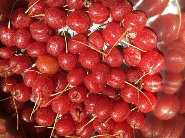 Sweet Scarlet Goumi Plant Information   Great Escape Farms