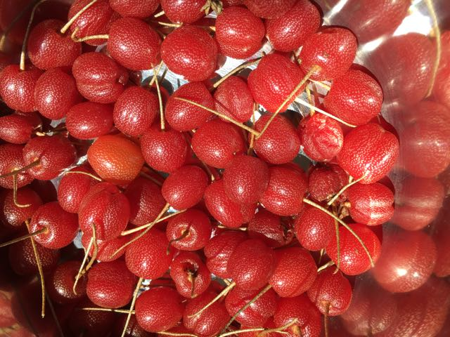 Sweet Scarlet Goumi Plants for Sale