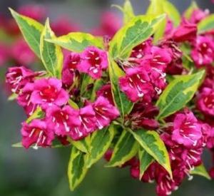 Red Flower Variegated Weigela for Sale at Great Escape Nursery