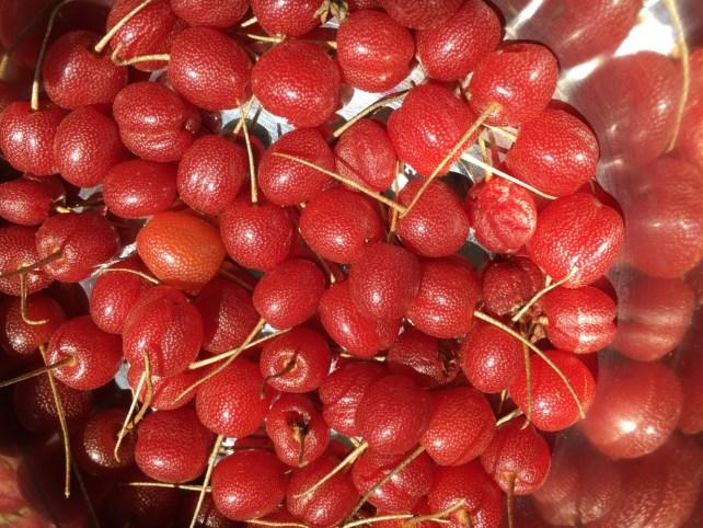How to Propagate Sweet Scarlet Goumi Elaeagnus multiflora