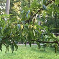 Thinning Fruit Trees - Needs Thinning