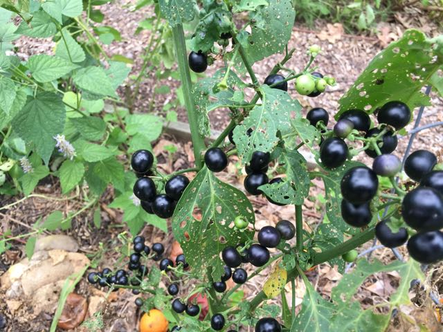 Information you want on Garden Huckleberry Solanum nigrum