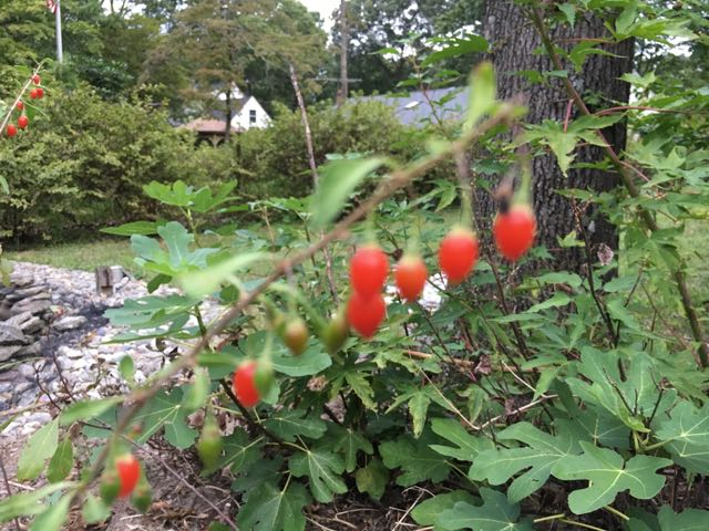 How to Harvest Goji Berry Lycium barbarum