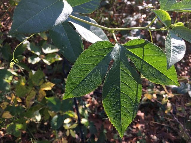 Harvesting Maypop Passiflora Incarnata