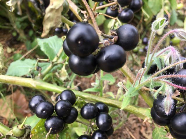 Harvesting Garden Huckleberry