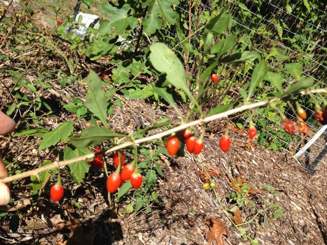 Propagating Goji Berry Lycium barbarum