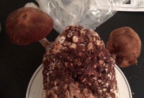 Shiitake Mushroom Growing Kit Product Review