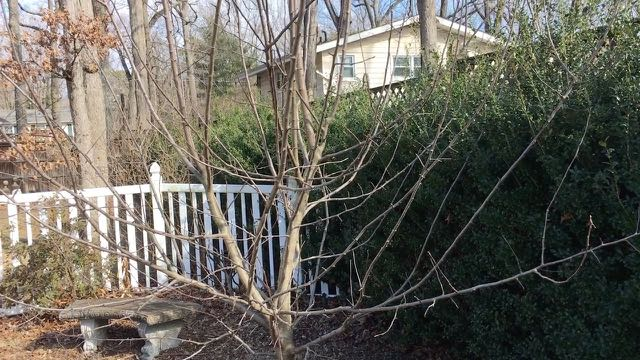 Sustainable Homesteading in Maryland Part 2 Apple Tree