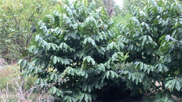 Planting Paw Paw Seeds | Asimina triloba