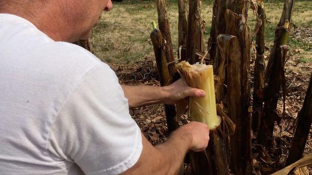 Hardy Banana Spring Preparation - Trim Back