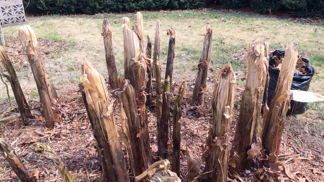 Hardy Banana Spring Preparation - Winter Mulch Removed
