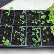 Indoor Plantings Update - Seedlings