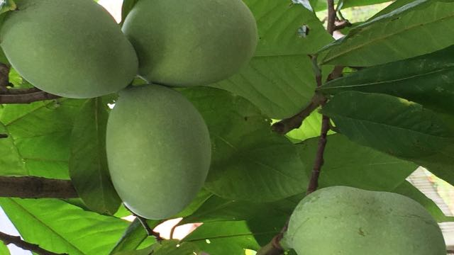 Permaculture and Homesteading Q and A Series No1 - Planting Paw Paw Seeds