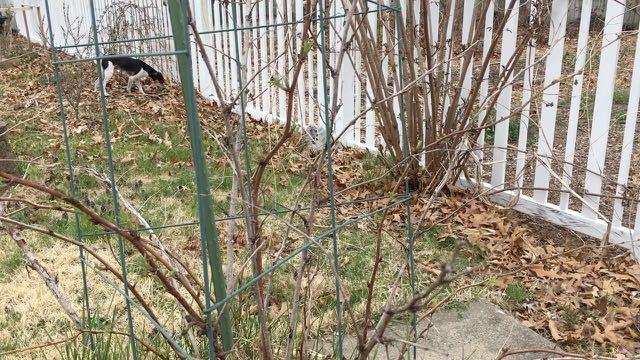 Spring Raspberry Pruning Basics Rubus idaeus More How To - Start