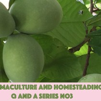 Permaculture and Homesteading Q and A Series No3 - Planting Paw Paw Seeds