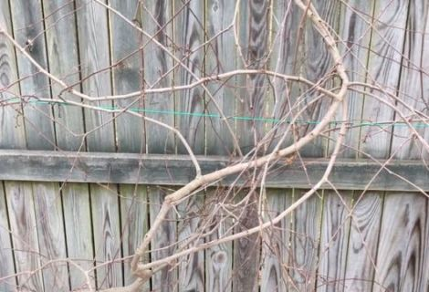 Pruning Muscadine Grape Vines now for More Fruit later