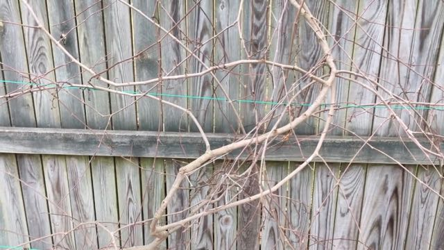 Pruning Muscadine Grape Vines - before