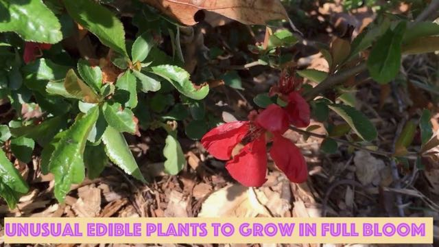 Unusual Edible Plants to Grow in Full Bloom - Quince
