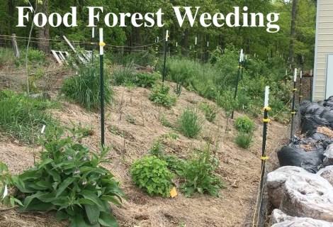 Food Forest Weeding or Forest Garden Weeding