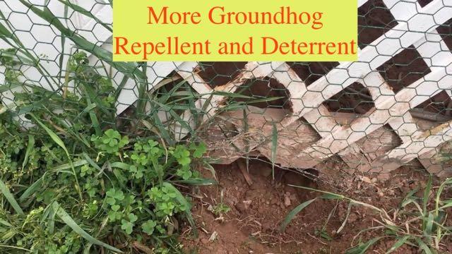 More Groundhog Repellent and Deterrent