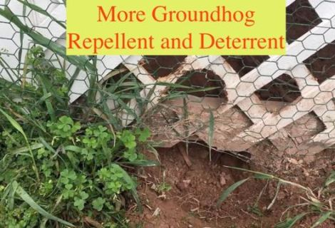More Groundhog Repellent and Deterrent