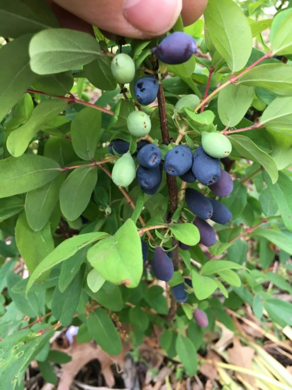 Harvesting Honeyberry Haskap Lonicera caerulea - Fruit