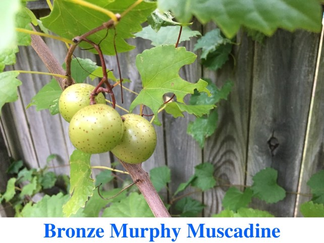 Bronze Murphy Muscadines for Sale