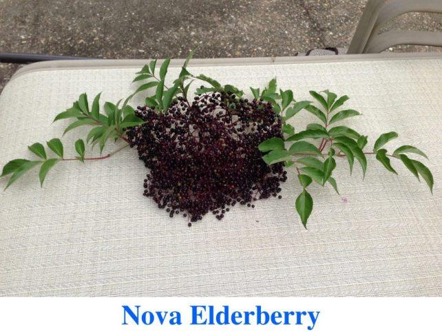 Elderberries for sale at Great Escape Nursery