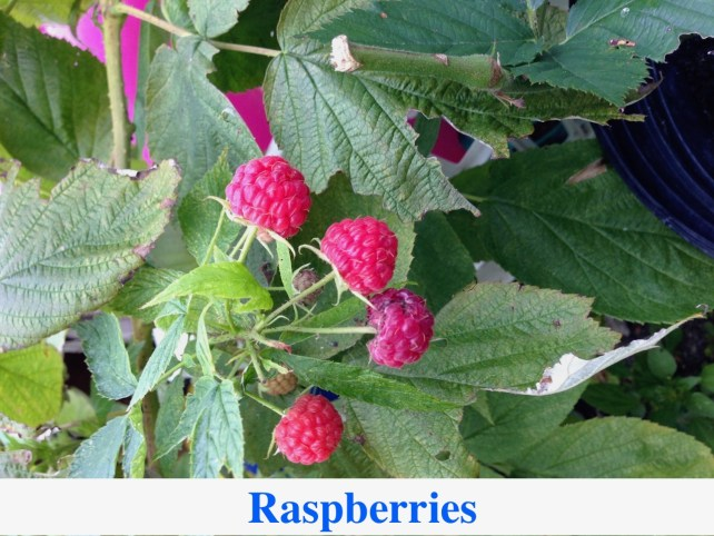 Raspberry Plants for Sale at Great Escape Nursery