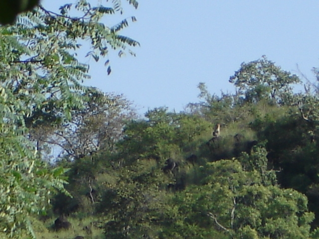 Wild cat spotted deep in the madhumalai forest range