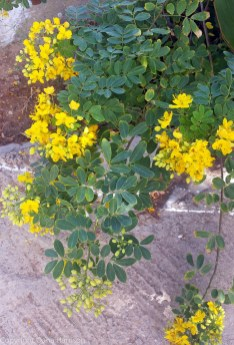 20170919-Hydra_Idra_YellowFlowers