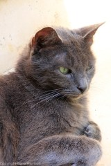 Grey cat Positano