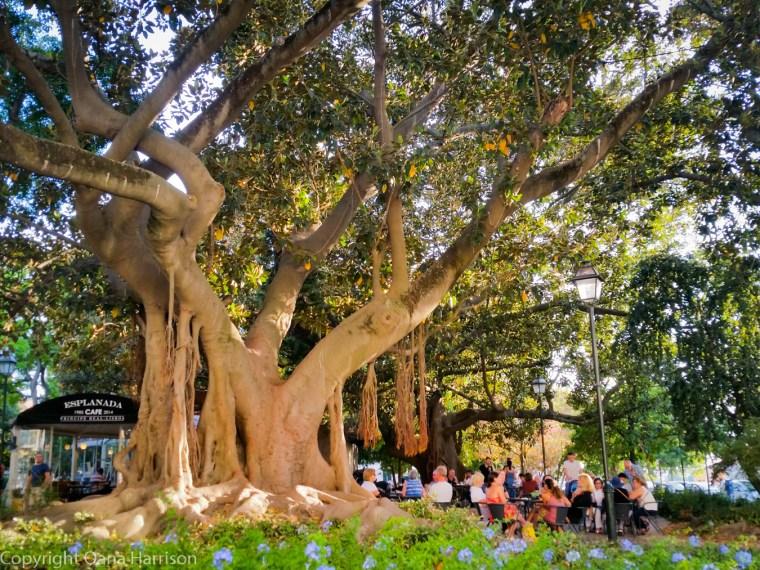 Beautiful big tree in Lisbon park
