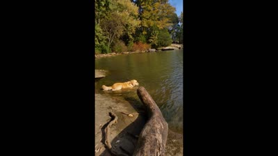 Golden Retriever playing in the river