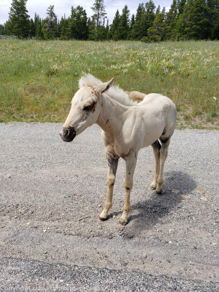 White-foal-Montana