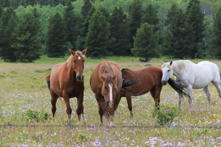 Montana-horses