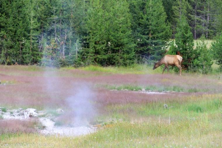 Elk-and-geysers-Yellowstone