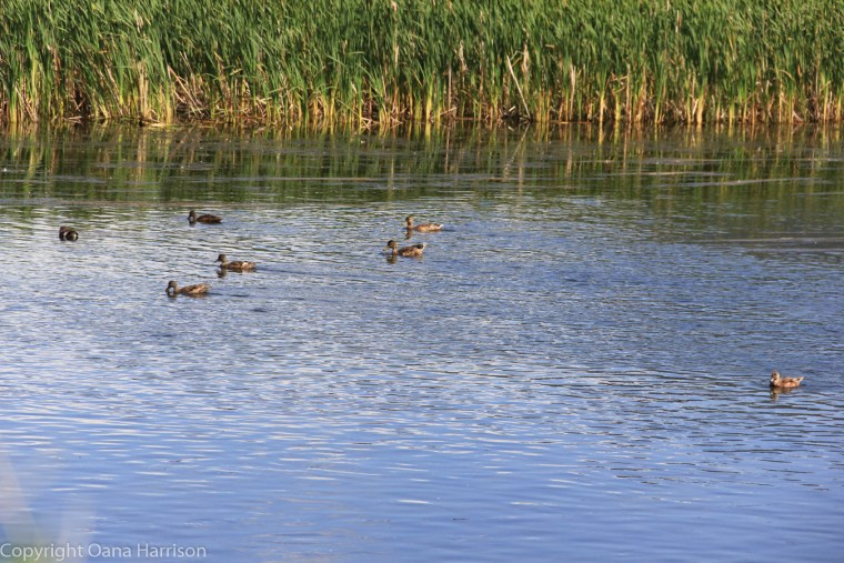 Grand-Teton-National-Park-ducks