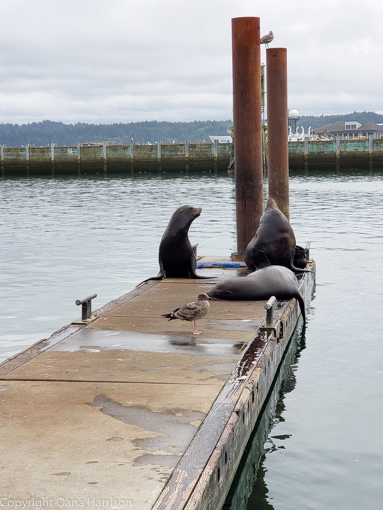 Newport-OR-sea-lions-on-the-dock-seagull
