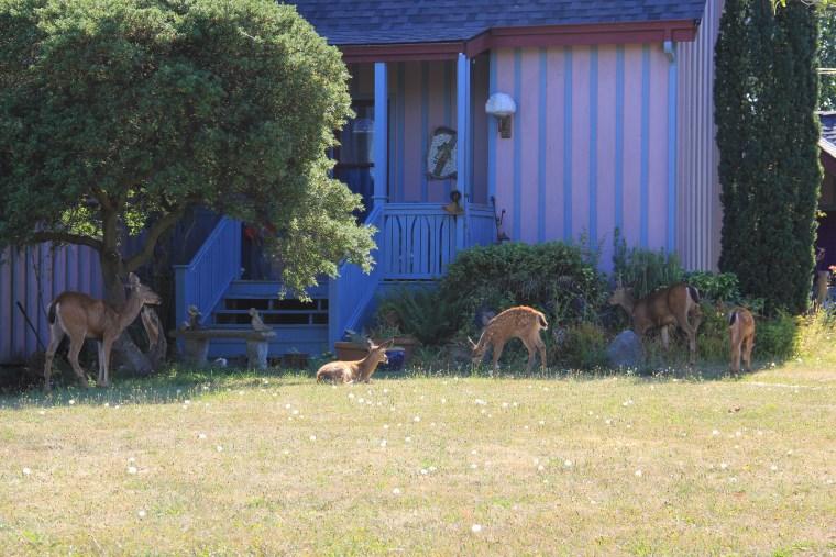 Port-Townsend-WA-deer-03