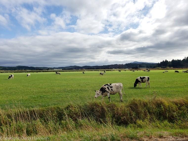 Tillamook-OR-cows-02
