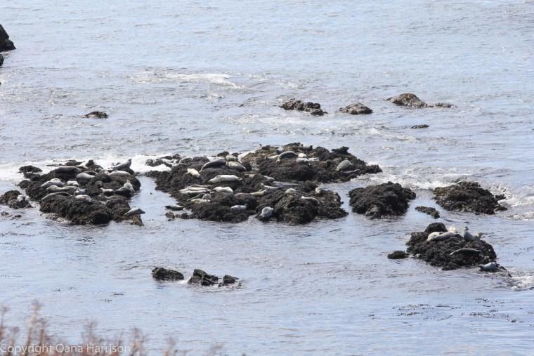 Yaquina-bay-sunbathing-sea-lions-OR-47